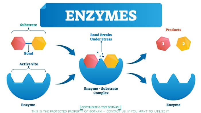 6 Effects of Enzymes in the Human Body